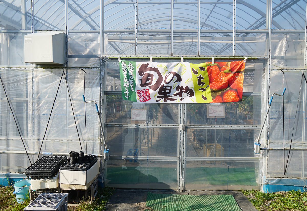 [茨城景點]セツコの苺-草莓控必來!30分鐘採草莓吃到飽~酸甜戀愛味的紅臉頰草莓 @美食好芃友