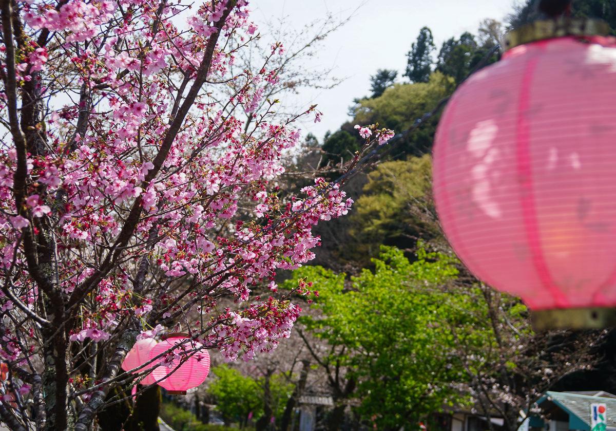 [靜岡旅遊]大井川鐵道復古SL蒸氣火車初體驗~春天限定家山櫻花隧道! @美食好芃友