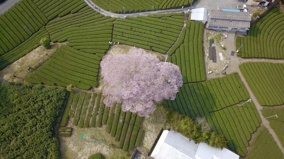 [靜岡旅遊]牛代水目櫻-靜岡賞櫻絕景!矗立在茶園的百年粉色櫻花樹 @美食好芃友