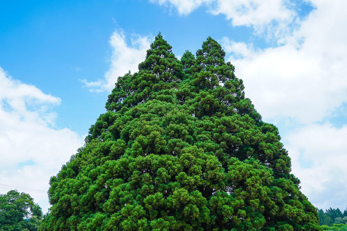 [山形景點]龍貓迷必朝聖~山形超萌龍貓樹「トトロの木」小杉の大杉 @美食好芃友